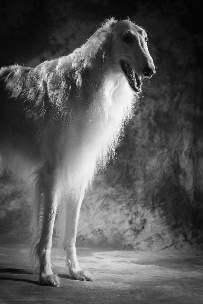chart rosyjski borzoi studyjna fotografia psów poznań