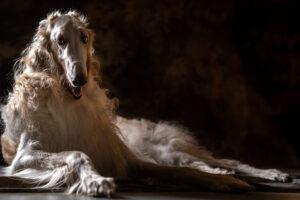 chart rosyjski borzoj - studyjna fotografia psów poznań